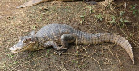 Caimán crocodilus fuscus proyecto EcoTEC. Foto: M.Sc Olivier Castro Morales, regente de EcoTEC.